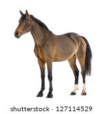 Stock photo male belgian warmblood bwp years old against white background 127114529