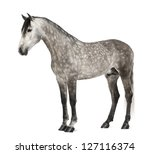 Stock photo andalusian years old also known as the pure spanish horse or pre against white background 127116374