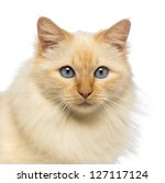close up of a birman looking at ... | Shutterstock . vector #127117124