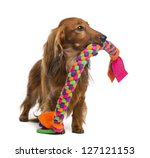 Stock photo dachshund years old holding a dog toy in its mouth against white background 127121153