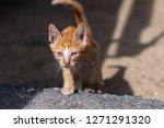 close up stray skinny orange...   Shutterstock . vector #1271291320