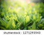 closeup nature view of green... | Shutterstock . vector #1271293543