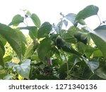 inca sacha inchi  plant in... | Shutterstock . vector #1271340136