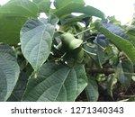 inca sacha inchi  plant in... | Shutterstock . vector #1271340343