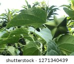 inca sacha inchi  plant in... | Shutterstock . vector #1271340439