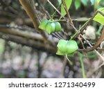 inca sacha inchi  plant in... | Shutterstock . vector #1271340499