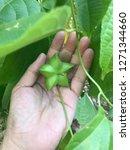 hand harvesting inca peanut ... | Shutterstock . vector #1271344660