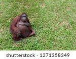 ape knows as orangutan | Shutterstock . vector #1271358349