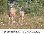 Mule Deer Doe And Fawn In...