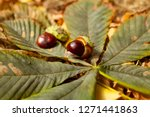 Horse Chestnut Conkers Fall...