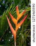 bird of paradise flower with...   Shutterstock . vector #1271465590