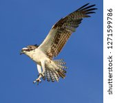 Osprey Fish Hawk Hovering And...