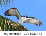 Osprey Fish Hawk In Palm Tree...