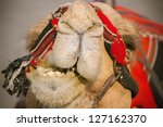 Head Of Camel In Israel Close Up