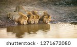 four wild male lions drinking... | Shutterstock . vector #1271672080