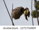 seen in mauritius | Shutterstock . vector #1271732809