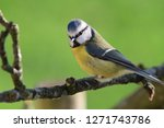 portrait of a bluetit ... | Shutterstock . vector #1271743786