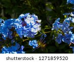 Blue Plumbago Auriculata ...