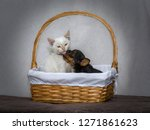 Stock photo  a baby of yorkshire terrier kisses a baby cat in a wicker basket showing his friendship 1271861623