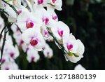 beatiful phalaenopsis orchid... | Shutterstock . vector #1271880139