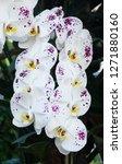 beatiful phalaenopsis orchid... | Shutterstock . vector #1271880160