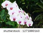 beatiful phalaenopsis orchid... | Shutterstock . vector #1271880163