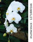 beatiful phalaenopsis orchid... | Shutterstock . vector #1271880166