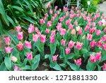 beatiful colorful tulip flowers ... | Shutterstock . vector #1271881330