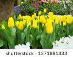 beatiful colorful tulip flowers ... | Shutterstock . vector #1271881333