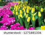 beatiful colorful tulip flowers ... | Shutterstock . vector #1271881336
