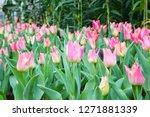 beatiful colorful tulip flowers ... | Shutterstock . vector #1271881339