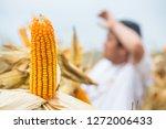 closeup of corn cob on plant in ... | Shutterstock . vector #1272006433