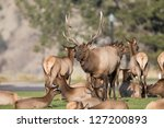 Elk near the Gardiner River in Yellowstone National Park - stock photo