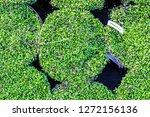 leptinella squalida platts... | Shutterstock . vector #1272156136