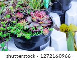sempervivum green plants in... | Shutterstock . vector #1272160966