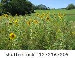 a sunflower field on the schw...   Shutterstock . vector #1272167209