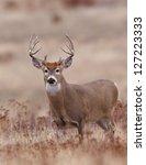 Whitetail Buck Deer In Crp Lan...