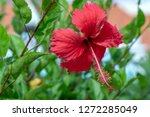 close view of a red hibiscus... | Shutterstock . vector #1272285049
