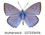 Dorsal View Of Polyommatus...