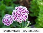 dianthus flower on green garden ...   Shutterstock . vector #1272362053