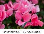 pink cyclamen persicum mill   Shutterstock . vector #1272362056