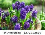 hyacinth atlantic flower   Shutterstock . vector #1272362599