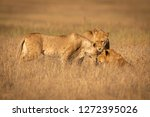 three lions nuzzling one... | Shutterstock . vector #1272395026