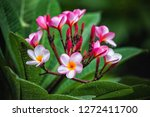 colorful frangipani flowers  | Shutterstock . vector #1272411700