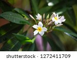 colorful frangipani flowers  | Shutterstock . vector #1272411709