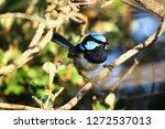 a bright blue male splendid...   Shutterstock . vector #1272537013