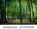 Beech Tree Springtime Woodland...