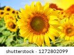 field of sunflowers and sun | Shutterstock . vector #1272802099