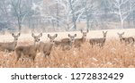 Herd of white tailed deer in...