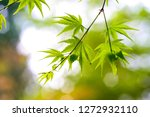 japanese green maple leaves  | Shutterstock . vector #1272932110